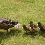 The Mother Duck Phenomenon